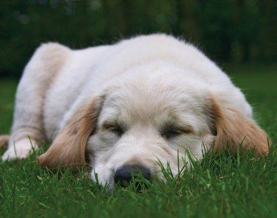 Golden abrador puppy sleeping