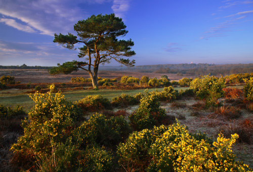 New Forest gorse