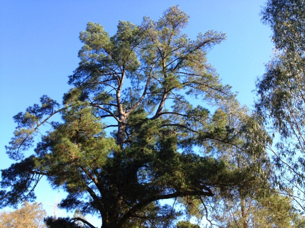 Soaring fir tree against blue sky