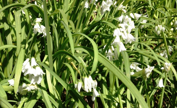 Wild garlic close up