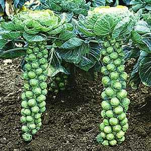 """Repeat after me: """"I love Brussel sprouts. I do. I love Brussel sprouts."""""""