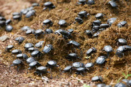 Insects will probably play a much more central role in our diet ... like these dung beetles.