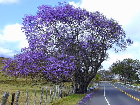 "The ineffably beautiful Jacaranda tree, inspiration for our ""new"" pool."