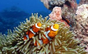 Clown Fish on the Barrier Reef