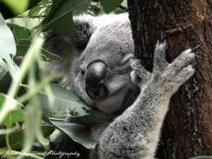 Koala - note, NOT Koala Bear