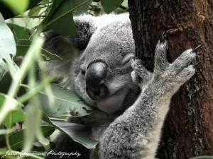 Koala - note, NOT Koala Bear