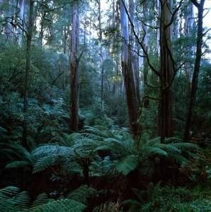 Mountain Ash and tree ferns, Dandenong Ranges, Vic