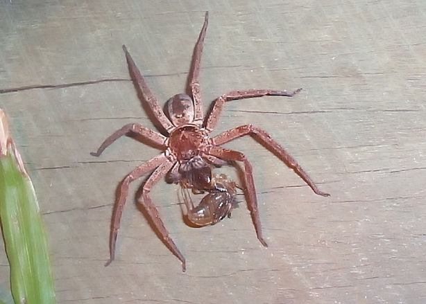 You want to know why we like big spiders in Australia? This is why.