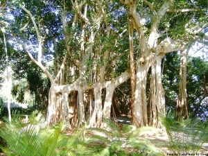 banyan_tree_5